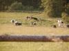 Krávy na pastvě