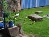 Kachní návštěva na dvoře